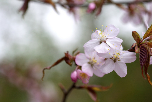 dreams-of-japan:  Blossoms Away! by jasohill on Flickr.