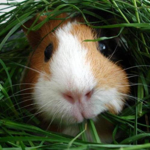guineapiggies:  (Fresh grass! Yummy! by ~xanaducal)