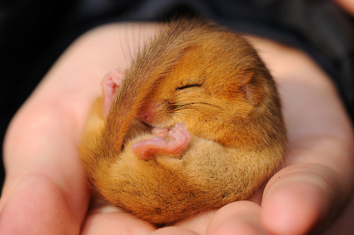 theanimalblog:  Doormouse. Photo by amylewis   Morning cuteness