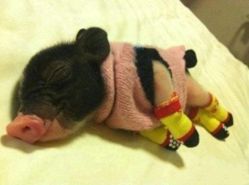 We may have a new cutest picture on the internet. This picture of a mini-pig, by KittenBabySitter, reveals its layers of cuteness as you look at it. One, it's a sleeping miniature pig with a pink snout. Cute! Wearing a sweater vest! Cuter! Then, you notice that it's wearing tiny gripper socks and your head explodes like a cute bomb went off in your skull. Cute-boom! [via Laughing Squid and Cute Overload]