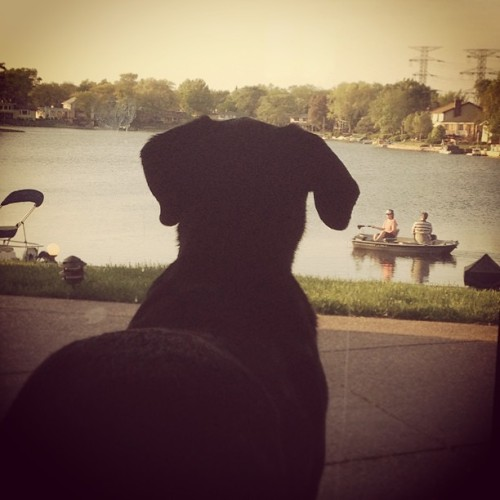 WHERE ARE THEY GOING!? #dog #lab #blacklab #dane #greatdane #mix #lake #water #boat #basstender