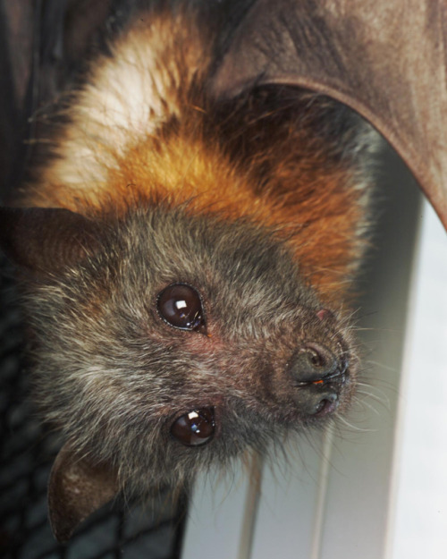 buriedluck:  I want a pet flying fox.