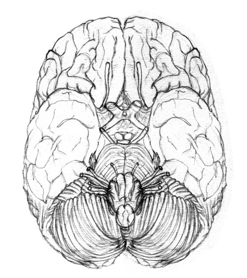 hartleart:  Beginnings of the brain owo (inferior view)