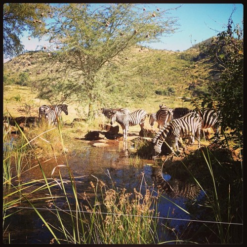 In South Africa, zebras design interactions with YOU! (Today's 'office' view) #UX #coworking (at Kwa Maritane Lodge Pilanesberg National Park)