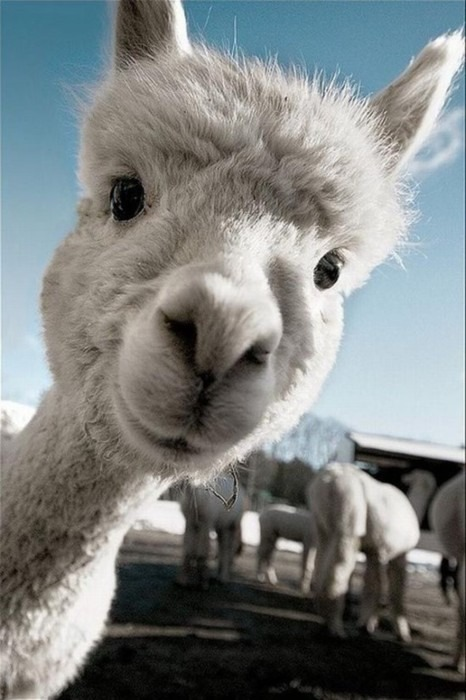 effortlessly:  Have a happy llama to make you happy.