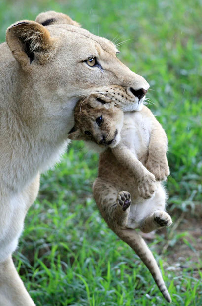 theanimalblog:  A lioness named Lemon picks up one of her three cubs at the zoo in Cali, Colombia Picture: REUTERS/Jaime Saldarriaga