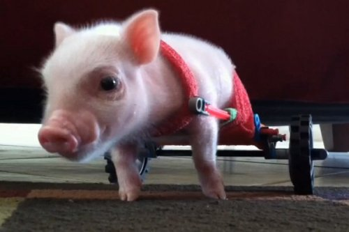 PIGLET USES A TINY WHEELCHAIR MADE FROM K'NEX!by Blaire Bercy http://bit.ly/12sqAVf