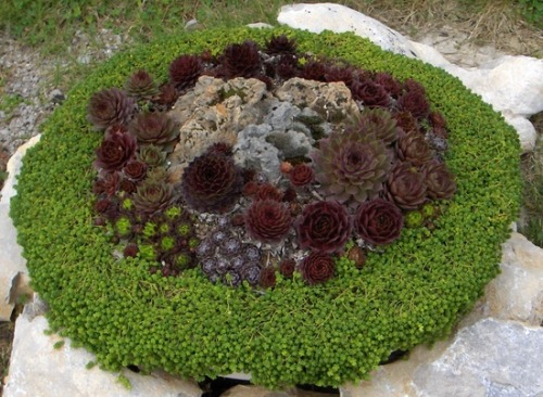 (via Enthusiast Succulents / Sempervivum and sedum)