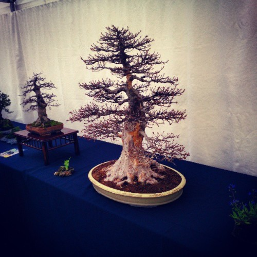 Check out this giant bonsai! (at Landgoed Clingendael)