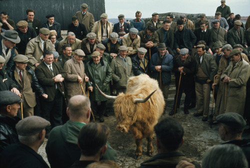lovelyydarkanddeep:  A Highland cow is bid on at an auction, May 1970. Photograph by Kenneth Macleish, National Geographic