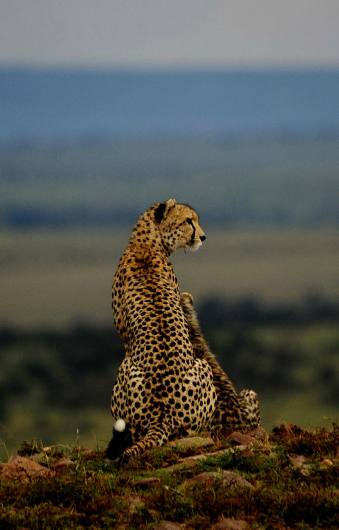 magicalnaturetour:  Mother Cheetah and young surveying the Masi Mara (by d300man1965)