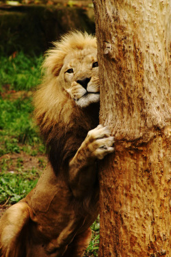 magicalnaturetour:  Lincoln Park Zoo Lion by Prescott Carlson