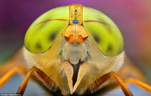 Does my bug look big in this? Incredible super close-up pictures of world's most colourful critters  Photographer Ireneusz Irass Waldzik has taken a series of close up images of flies and wasps