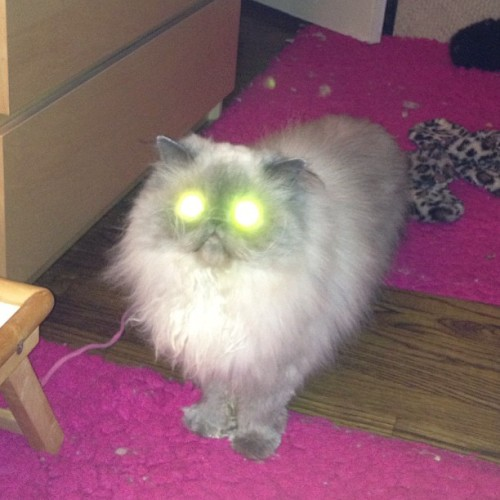 Don't use a flash on Wicket!  #cat #wicket #himmie #himalayan #wtf #cute? #flashcat #ねこ #ネコ #猫