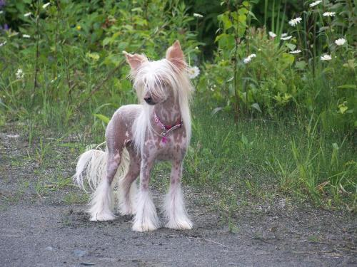 I really really really want a Hairless Chinese Crested.