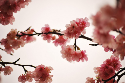 gasaii:  Cherry blossoms #3 by **mog** on Flickr.
