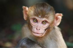 Baby rhesus monkey by Diana Goldin.