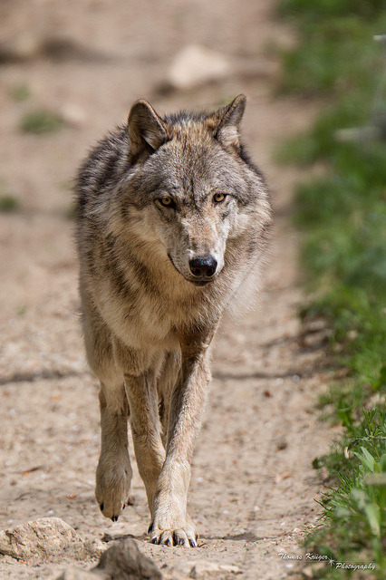 Timber wolf (by CROW1973)
