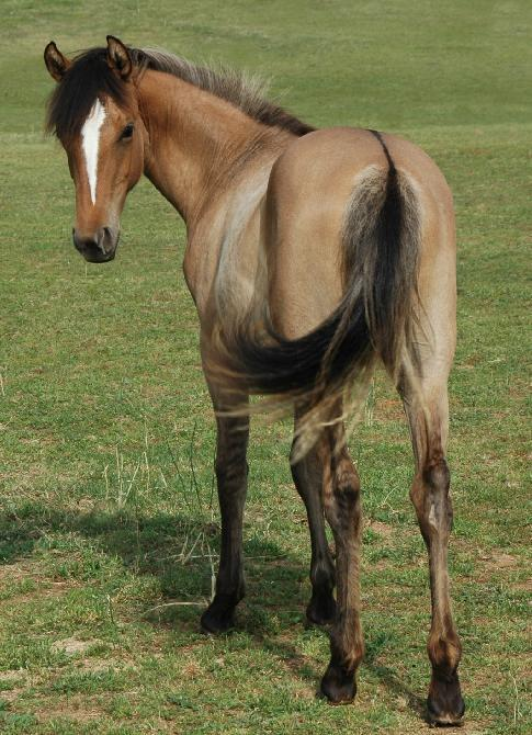 colourfulequines:  Alpinemist Caramel Ripple, dun yearling Morgan filly with frosted mane and tail. (source)
