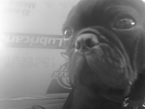 #pug #pretty #elvisthepug #Blackpug