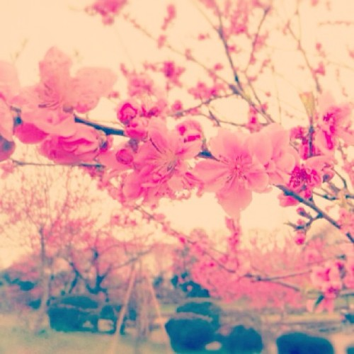 sugaryxxx:  #iphonegraphy #flower #spring #pink #桃の花