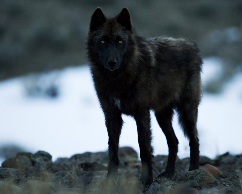 WOLVES  Wolf in Lamar ...