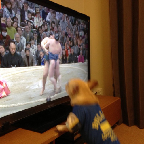 Update: this dog is still a very passionate sumo wrestling fan.  Instagram: katiger_maa
