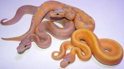 snake reptile Ball python Python regius coral glow ball python
