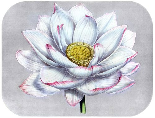 Indian lotus (Nelumbo nucifera)  From Flore des Serres et des Jardins de l'Europe (Flowers of the Greenhouses and Gardens of Europe) vol. 3, by Charles Lemaire, Michael Scheidweiler, and Louis van Houtte, Ghent, 1847.  (Source: archive.org)