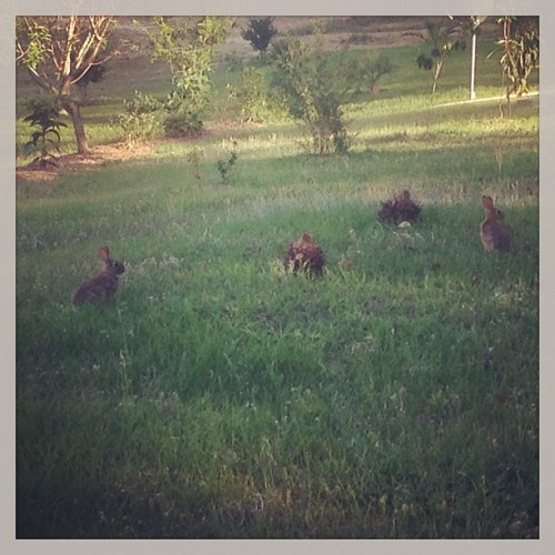 Big bunnies in the yard! (at The Parental Unit)