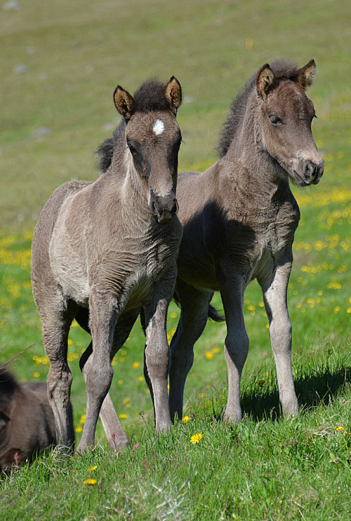 llbwwb:   For the horse lovers:) Icelandic Horse Foals (by tanjadavis)