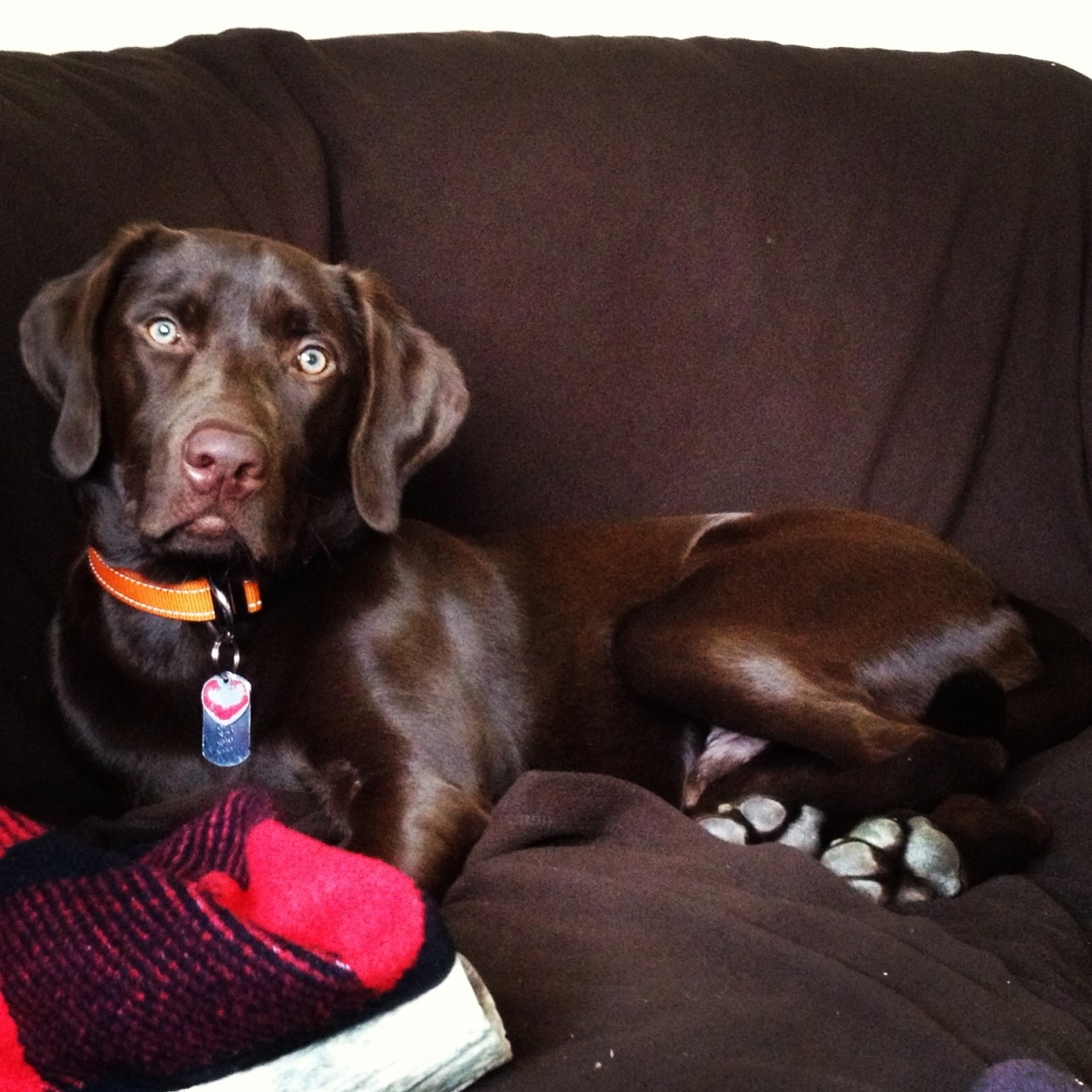 handsomedogs:  This is my Dog Chex! He's a pure chocolate lab and the love of my life :)