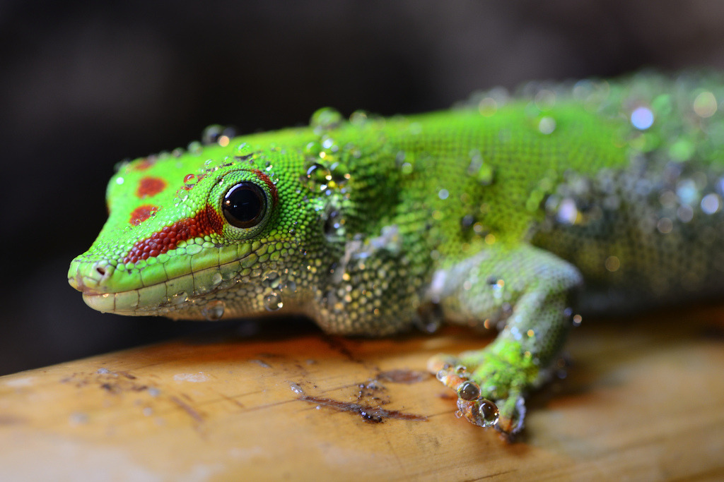 opisthokonta:  Phelsuma grandis (by the-moof)