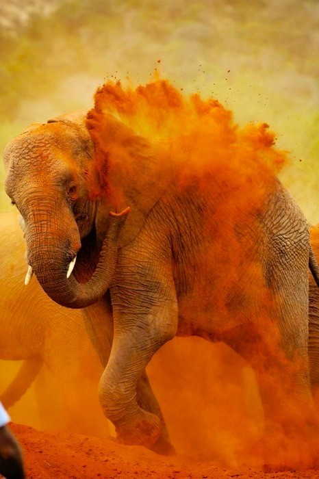 ruineshumaines:  Elephant Dust Bath, India