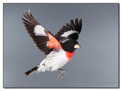 Rose Breasted Grosbeak in Flight by paddler60 on Flickr.
