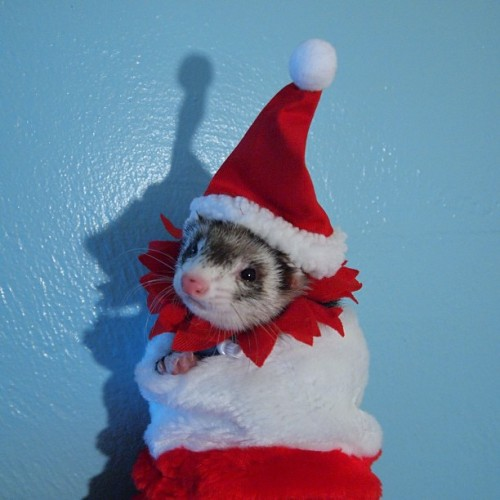 thefluffingtonpost:  PHOTO OP: Santa Baby Via I Heart Ferrets.