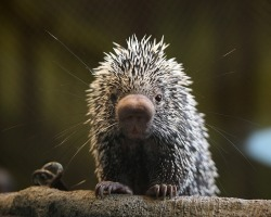 The Prehensile Tailed Pokemon Porcupine (Coendou prehensilis) is an arboreal species of porcupine endemic to South America. They tend to stick to small groups or remain completely solitary, but if food and mates are abundant will tolerate larger amounts of each other. Males have a tendency to spray females and their offspring as a way of marking them as 'territory.'  Most of their life (up to 85%) is spent in trees. Since they are nocturnal, foraging occurs at night. Anything from tree bark to fruits and even unripened seeds are an acceptable meal. They especially love the seeds of coco palms! Unfortunately, some bugs find them to be a good food source. Assassin beetles.. Yes, that's their name.. Love to feast on the blood of these porcupines- in turn, the porcupines become a reservoir for a parasite called Trypanosoma cruzi.  Perhaps the cutest thing about this animal is the various forms of communication. A gain in popularity was because of it's little grunts in this episode of Scishow. Aside from vocal communication, they also have a very distinct chemical smell to get messages across. They produce a waxy substance with a pungent smell along their lower backs, and in areas frequented by porcupines, you can often smell them once they've already passed.