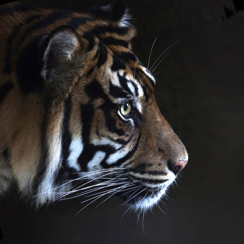 llbwwb:   For the tiger lovers:) Sumatra Tiger (by pe_ha45)