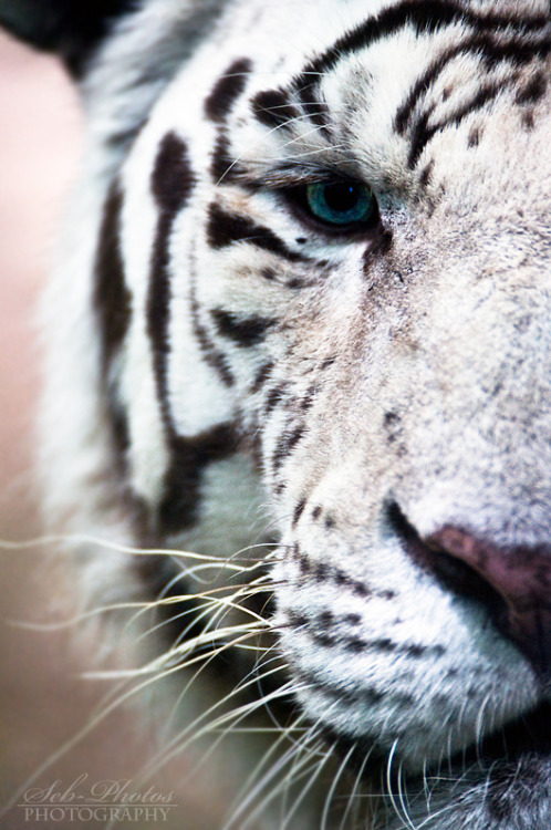 jaws-and-claws:  Behind blue eyes by *Seb-Photos