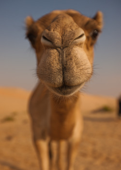 loveandshowhateandhide:  Morning camel kiss