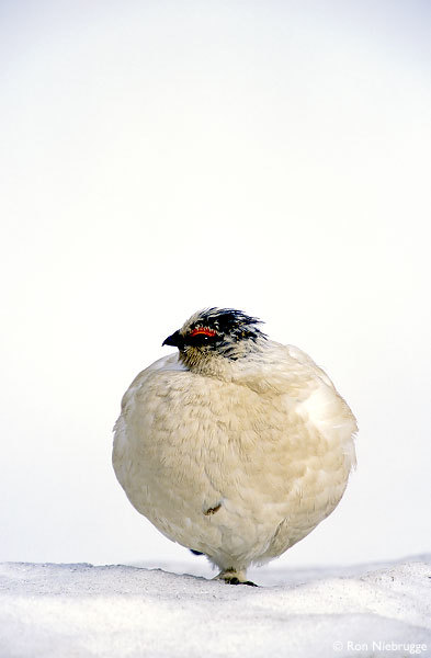 Rock Ptarmigan with Winter plummage, Denali National Park, Alaska.
