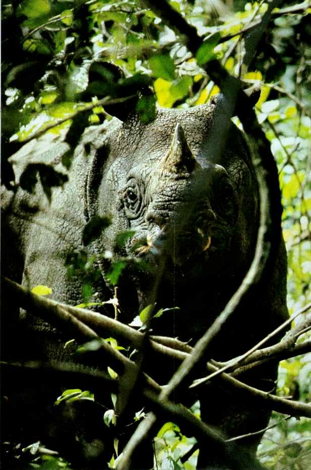vintagenatgeographic:  A Javan Rhino; this species is critically endangered, and as of September 2012 was declared extinct in Vietnam. Today fewer than 50 Javan Rhinos are considered to be remaining in the wild worldwide. National Geographic | June 1985