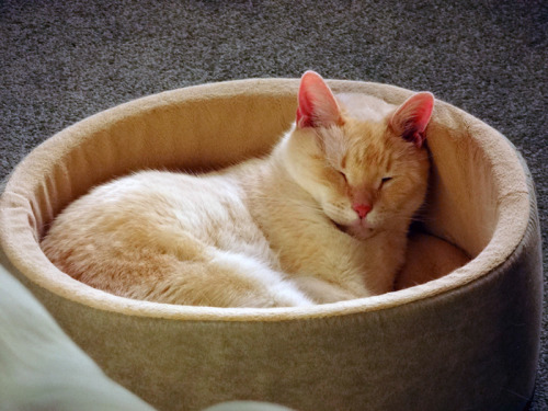 Angel loves his heated bed - even on warm days.