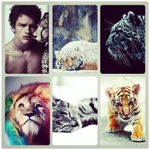 My own creation #montage #cute #tigers #kitten #lion #snow #cub #model