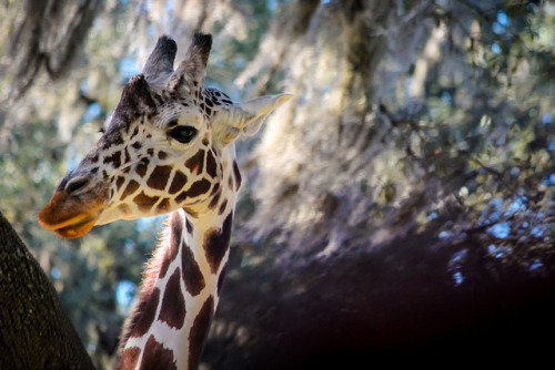 Kilimanjaro Safari- Giraffe by misterhowe on Flickr.