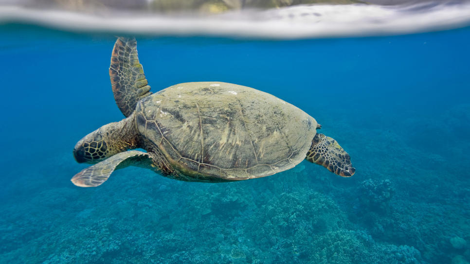 Spotted: green sea turtle in Olowalu Reef (via Olowalu Reef : Daily Escape : Travel Channel)