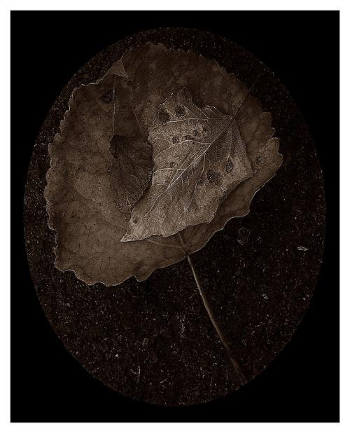 photographers on tumblr original photographers black and white macrophotography three leaves