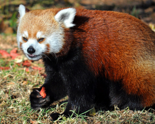 I'm not sure when or if the red panda facts will resume, but I really wanted to post a red panda photo just to show I'm still kicking. Recovery from this surgery's been tough, harder than any of the others, but I'm still going to beat it. And I'm going to post goofy red panda photos because they make me smile.