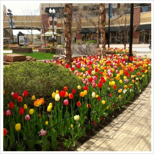 So pretty. #tulip #spring #flower #shower #pretty #plant #gateway #mall #fountain #olympic #apple #HigaPhoto  (at The Gateway)