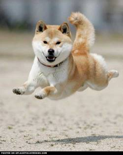 Shiba Inu flying high, look ma, no paws! For more cute dogs and puppies